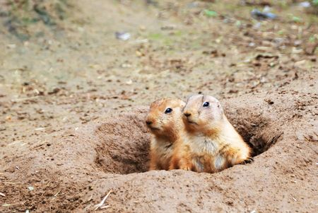 Two black-tailed prairie dogs - Cynomys ludovicianus - sticking out from a burrow.