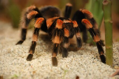 tarantula: Mexican red kneed tarantula - brachypelma smithii on standing on sand. Stock Photo