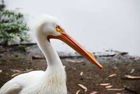 American white pelican or rough-billed pelican with the water shore in the background.
