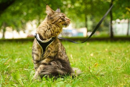 Beautiful grey maine coon cat in leash and harness walking in the city park on the green grass Banque d'images