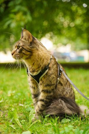 Beautiful grey maine coon cat in leash and harness walking in the city park on the green grass