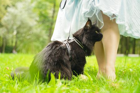 maine coon black cat walking wearing leash harness