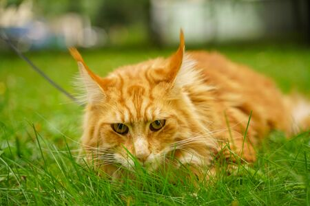 beautiful big red maine coon cat with harness and leash lying on the green summer grass Stock Photo