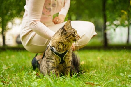 Woman walking with her pet cat grey maine coon outdoor in the city summer park. Stock Photo