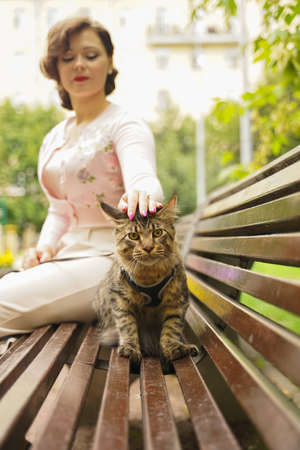 owner took for a walk her cat grey Maine Coon on a leash with a harness. they sit on a bench on the street during the first walk of the cat. 版權商用圖片