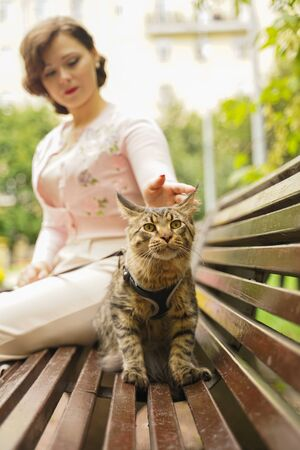 owner took for a walk her cat grey Maine Coon on a leash with a harness. they sit on a bench on the street during the first walk of the cat. Stock Photo