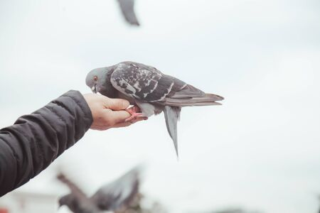 pigeon feeding and balancing on womans hand. caring person feeds pigeons in the city in cold weather