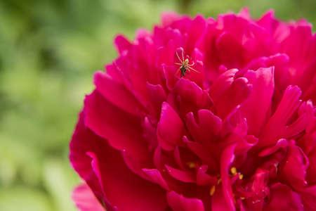 arachnids: Spider on a red flower