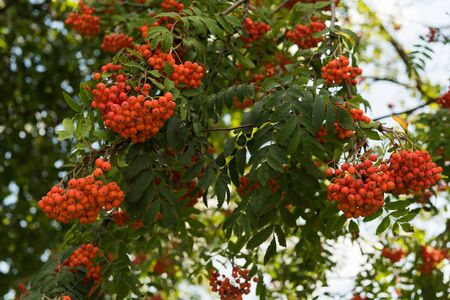 rowan tree: rowan tree, summer day Stock Photo