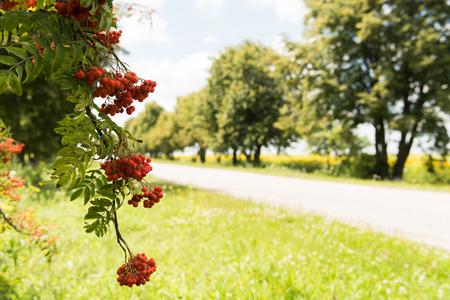 eberesche: rowan tree, summer day Lizenzfreie Bilder