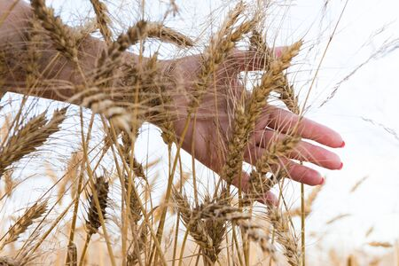 hands work: wheat field on a sunny day Stock Photo