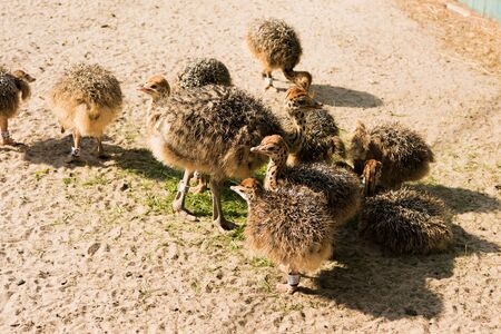 ostrich chick: chicks African ostrich walking