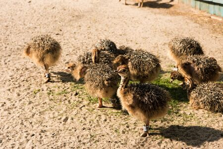 ostrich: polluelos de avestruz africano que recorre