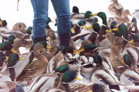 many ducks feeding in the winter snow