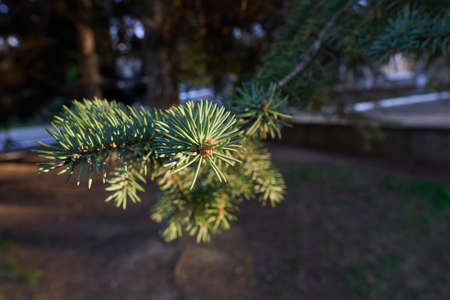 Beautiful pine branch with fir needles. Spruce branch. Christmas tree in nature. A green fir tree. Spruce close-up. Christmas tree in nature.Natural Wallpaper. 版權商用圖片