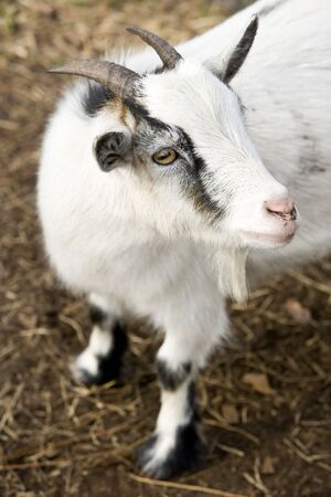 High angle view of billy goat, shallow DOF, focus on eye and side of face Imagens