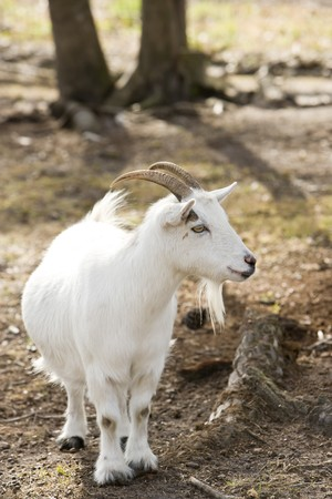 billy: Cute little billy goat with short stubby legs Stock Photo