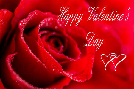 beautiful red rose Valentine background