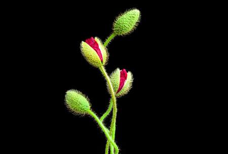 red poppy flowers on black background