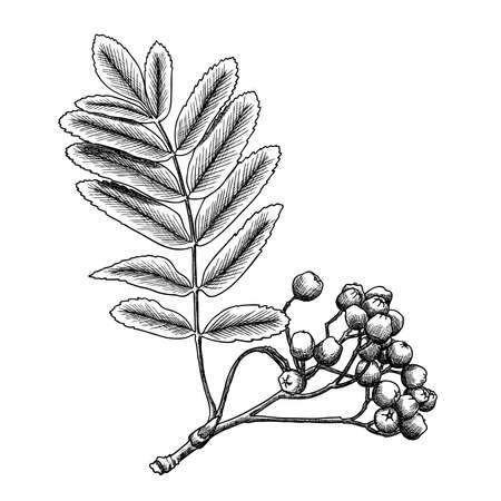 rowanberry: Detailed and precise ink drawing of rowan or rowanberry. Berries and rowan berries with leaves, hand drawn in rustic design, classic drawing element of sorb, wild ash, pit or rowan-tree. Vector.