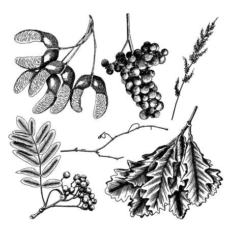 Hand drawing ink rustic maple seeds. Detailed and precise drawing of grapes or wine element. Oak leaf or oak leaves branch isolated. Wild grass and rowan or rowanberry. Sorb, ash, pit. Vector.