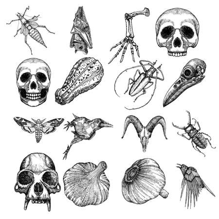 attributes: Witchcraft magic, occult attributes set, decorative elements. Human, monkey, bird, goat, crow skulls, garlic, skeleton lizard hand, pumpkin, bug, beetle, insect, moth, hawkmoth, bat. Vector.