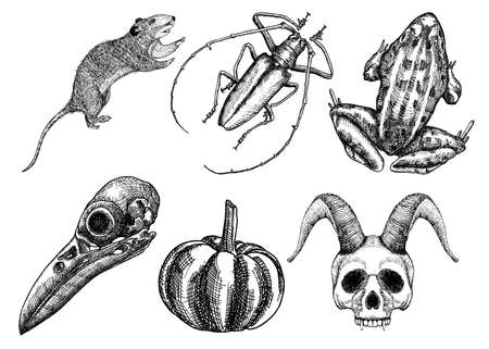attributes: Set for Halloween. Set of witchcraft magic, occult attributes decorative elements. Human, demon with horns, bird skull, bug, beetle, insect, crow, rat, frog, pumpkin, garlic. Vector.