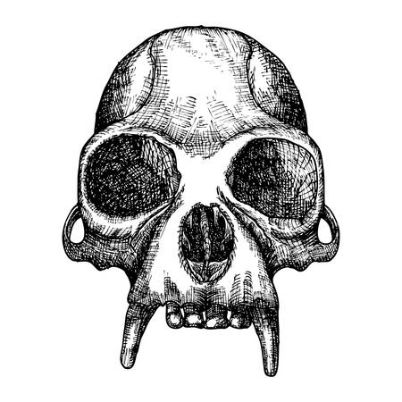 attribute: Monkey skull hand drawn, isolated on white. Drawing sketch of the skull of ape.  Witchcraft, Halloween, occultism, mythology and folklore attribute. Vector.