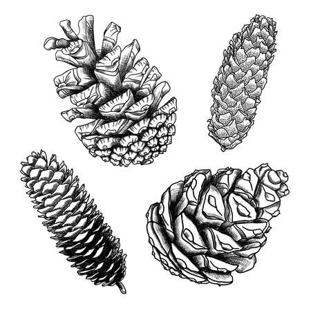 conifer: Set of sketch hand drawing pine cones on white background. Collection of Christmas hand drawn fir cones. Male, female conifer cones of various trees cedars, firs, hemlocks, larches, pines and spruces.