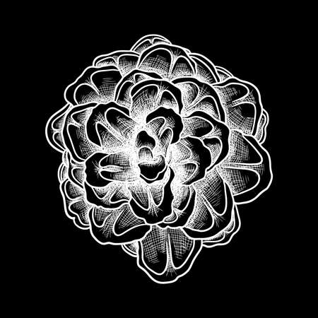 spruce: Pine cone of cedar spruce fir tree. Hand drawing vector illustration. Pinecone on black bacground.