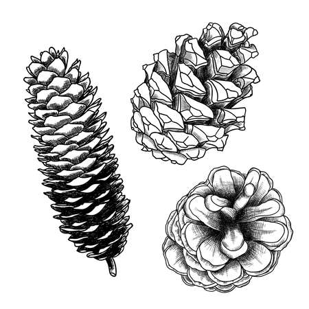 Set of sketch hand drawing pine cones on white background. Collection of Christmas hand drawn fir cones. Male, female conifer cones of various trees cedars, firs, hemlocks, larches, pines and spruces.