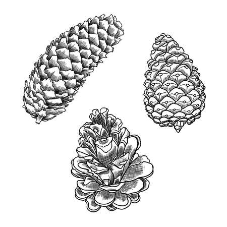 scratchy: Set of sketch hand drawing pine cones on white background. Collection of Christmas hand drawn fir cones. Male, female conifer cones of various trees cedars, firs, hemlocks, larches, pines and spruces.