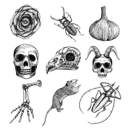attributes: Witchcraft magic, occult attributes set, decorative elements. Human, bird, demon skulls, garlic, skeleton lizard hand, bug, beetle, insect, moth, rat, black rose, flower. Set for Halloween. Vector.