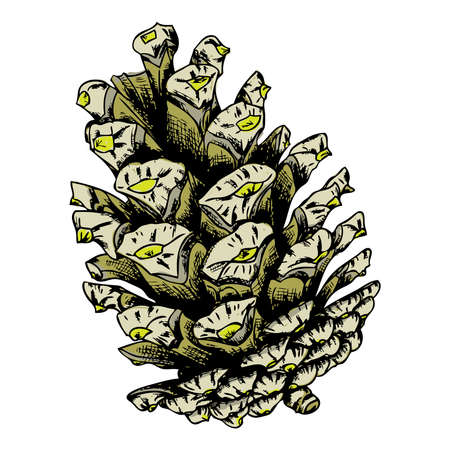 fir cone: Watercolor painted and hand drawn inked pine cone of cedar spruce fir tree. Hand drawing and painting illustration. Vector.