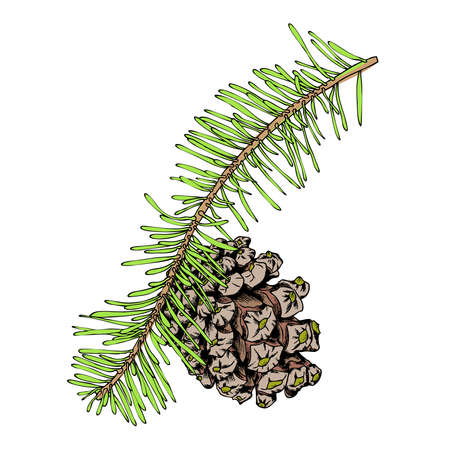 conifer: Watercolor painted and hand drawn inked imitation pine cone on tree branch with needles on white. Christmas handmade fir cone. Conifer cone on the tree, firs, pines or spruces. Vector.