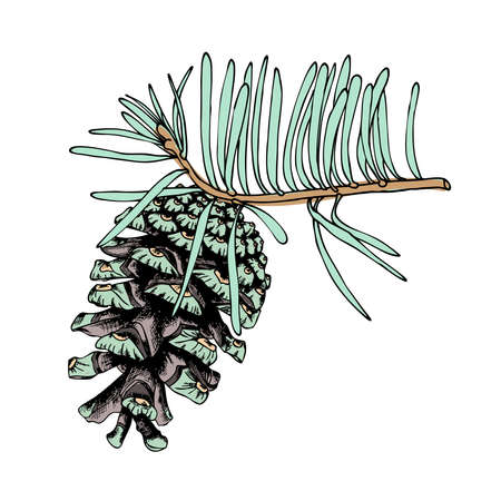 Watercolor painted and hand drawn inked imitation pine cone on tree branch with needles on white. Christmas handmade fir cone. Conifer cone on the tree, firs, pines or spruces. Vector.