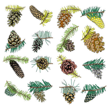 conifer: Set of watercolor painted and hand drawn inked conifer, pinecone, pine, spruce, cedar, Design for Christmas. Imitation. Christmas handmade fir cone. Vector.