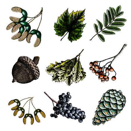 sorb: Set, watercolor painted and hand drawn inked rustic maple seeds, drawing of grapes and leaf. Rowan or rowanberry. Sorb, ash, pit. Oak nut or seed. Fir pinecone. Vector.
