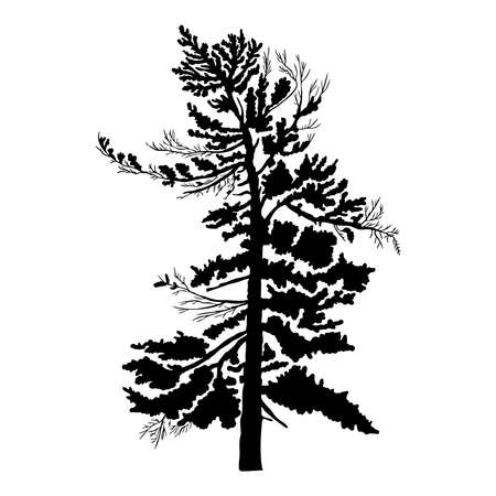 isolated: Pine tree isolated on white background, silhouette woods and fir tree for your design, isolated.
