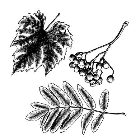sorb: Hand drawing ink rustic detailed and precise drawing of grapes leaf. Rowan or rowanberry. Sorb, ash, pit. Vector.