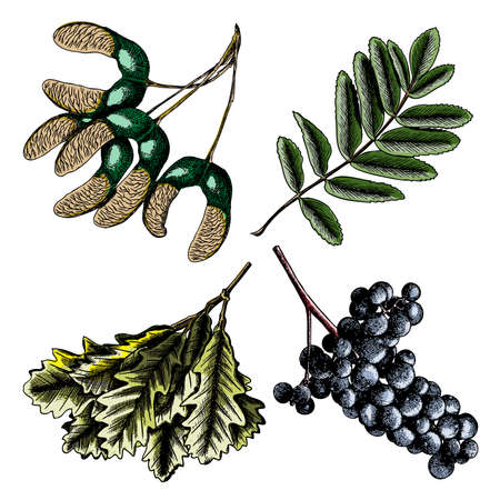 Set, watercolor painted and hand drawn inked rustic maple seeds. Drawing of grapes or wine element. Oak leaf or oak leaves branch isolated. Wild grass and rowan or rowanberry. Sorb, ash, pit. Vector.