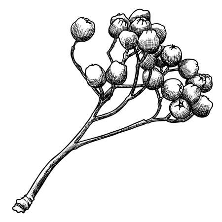 Detailed and precise ink drawing of rowan or rowanberry. Berries and rowan berries without leaves, hand drawn in rustic design, classic drawing element of sorb, wild ash, pit or rowan-tree. Vector. Illustration