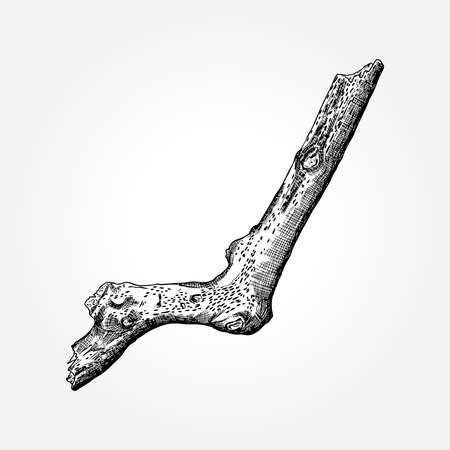 bark: Detailed and precise ink drawing wood twig, isolated on white forest object, natural tree branch, stick, hand drawn driftwood forest floor pickups. Rustic design, classic drawing element. Vector.