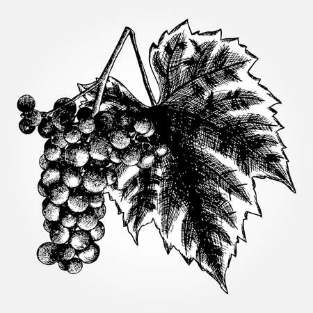 precise: Detailed and precise ink drawing of grapes or wine element. Berries, hand drawn in rustic design, classic drawing element. Vector.