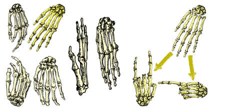 wrists: Human bones hand wrists drawing set. Creation set with fingers on wrist for gestures. Vector illustration.