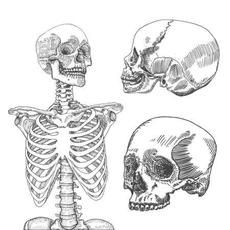 手には、3 つの頭蓋骨の解剖学的医療人体胸部が描画されます。白地。T シャツ印刷用に設計されています。ベクトルの図。