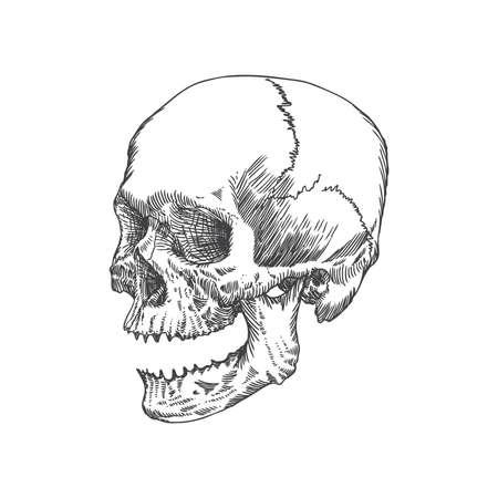 Anatomiczny czaszka z otwartymi ustami lub żuchwy, wyblakły i muzeum jakości, szczegółowy ręcznie rysowane ilustracji. Wektor sztuki.