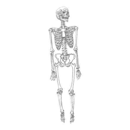 人間の骨のスケルトンの立っている図面。腕、脚、頭蓋骨。ベクトルの図。