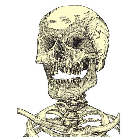 Anatomic skull with open mouth or jaw, weathered and museum quality, detailed hand drawn illustration. Vector Art.
