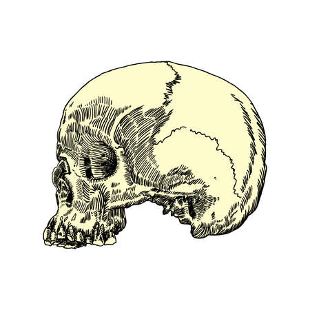 Monochrome anatomic drawing of skull without lower jaw, on white background. Weathered, museum quality, detailed hand drawn illustration. Vector Art.